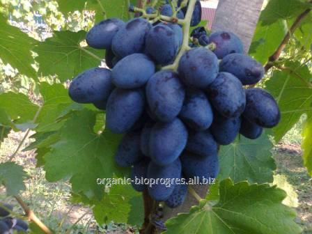 Виноград с гармоничным вкусом (Каталония, Махмуд)