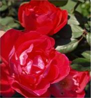 Купить Розы парковые продажа Шахтерск Украина