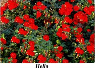 Купить Саженца роз Почвопокровных