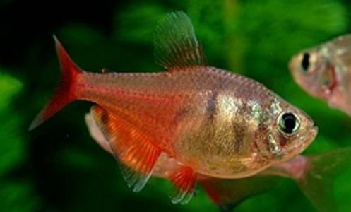 9cb1f453f01156 Тетра тло рио, рибки, акваріумні рибки купити в Київ