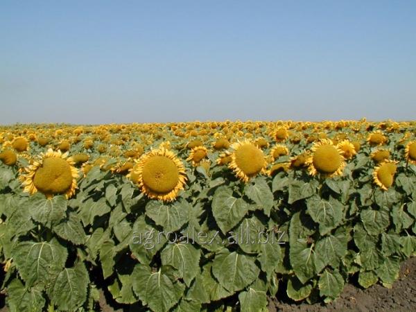 Купить Атилла семена нового гибрида подсолнечника