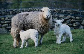 Купить Племенные овцы