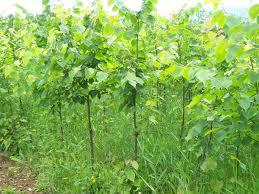 Buy Saplings of broadleaved trees
