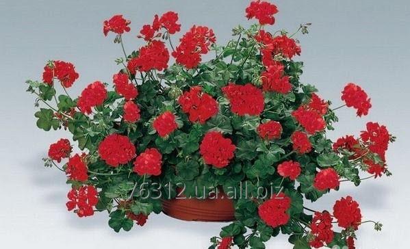 Buy Geranium balcony Geranium zone