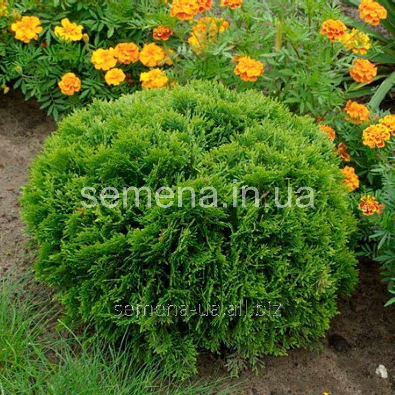 Саженцы декоративных растений Туя западная Даника, Артикул УТ000004294