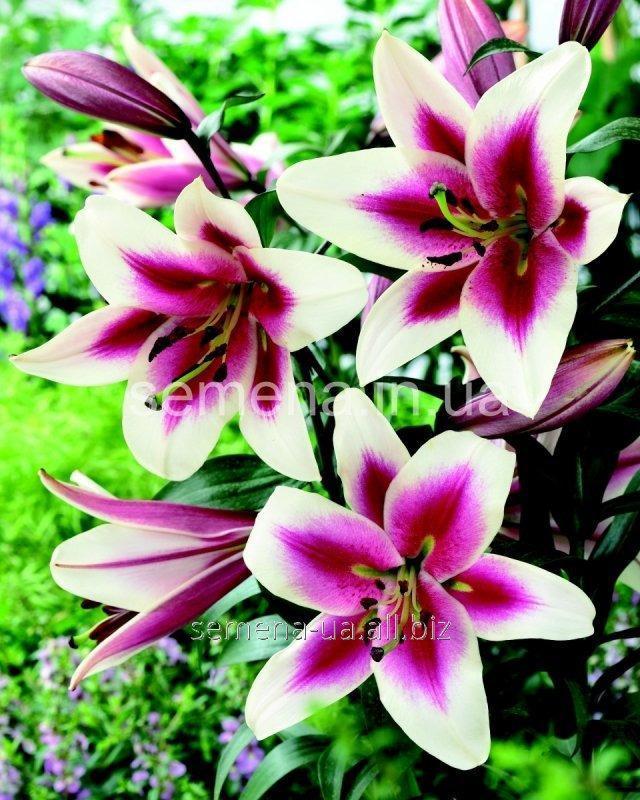 Семена цветов Лилия (весенняя колекция) Алтари, Артикул УТ000001733