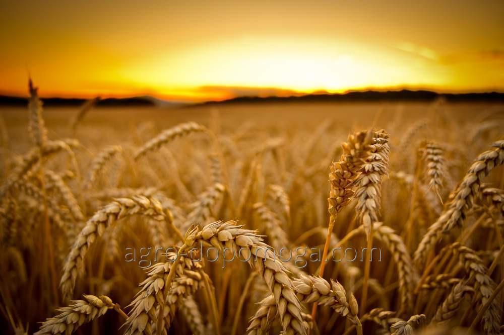 Семена озимой пшеницы Чернявая