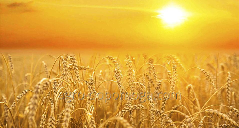 Семена озимой пшеницы Краевид