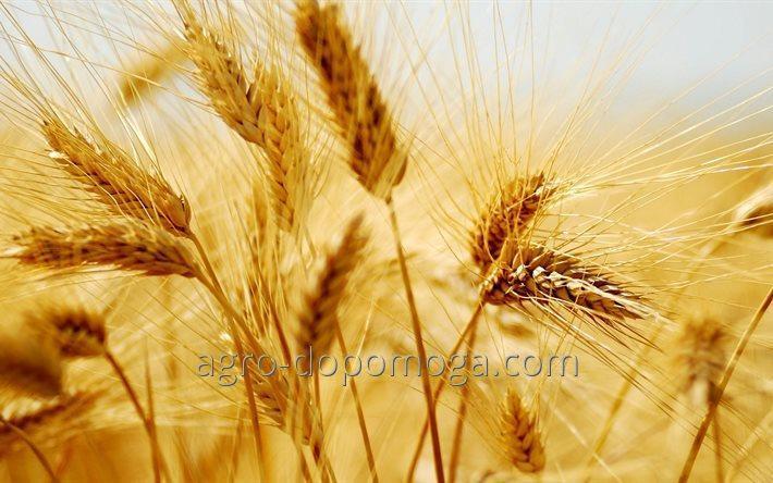 Озимая пшеница Лесная песня