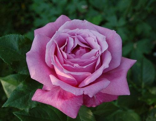 Купить Розы чайно-гибридные Blue parfume