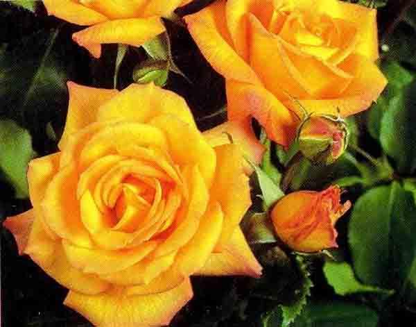Купить Саженцы роз многоцветковых (флорибунда)