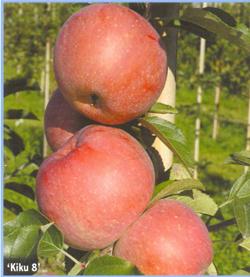 Купить Саженцы яблони Фуджи кику 8