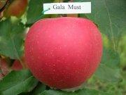 Купить Саженцы яблони Гала Маст