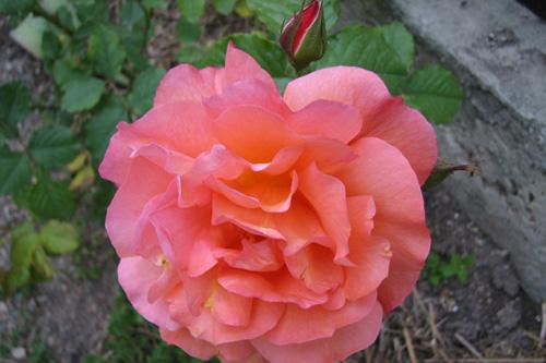 Купить Розы плетистые, Вестерланд