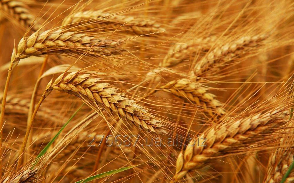 Пшеница 2 - го и 3 - го класса урожай 2018