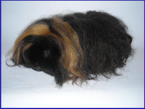 Buy Guinea pig alpaca