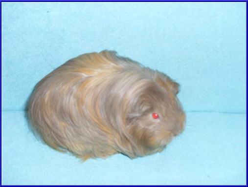 Buy Guinea pig of a sheltie