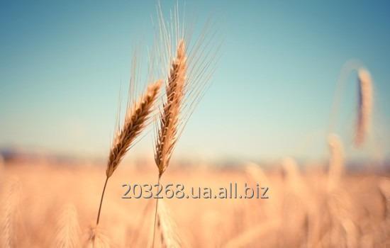Пшеница FOB, CIF, CPT.