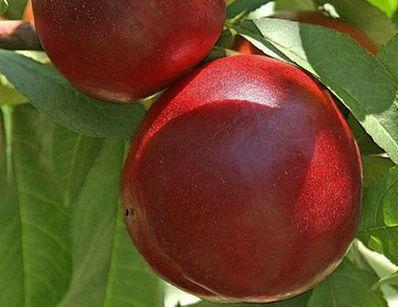Buy Snow's nectarine kvin Perfec