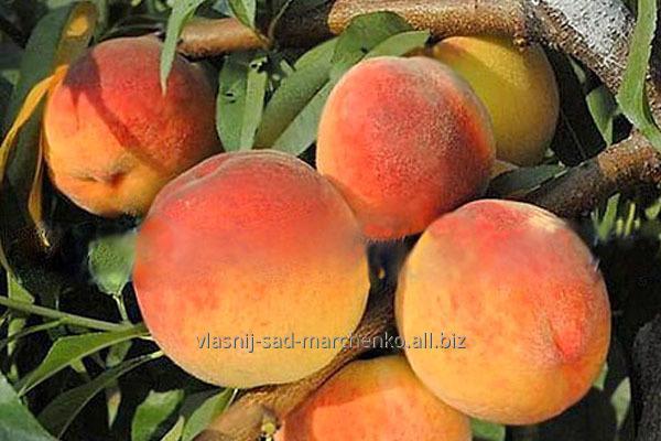 Peach Vayn Gold