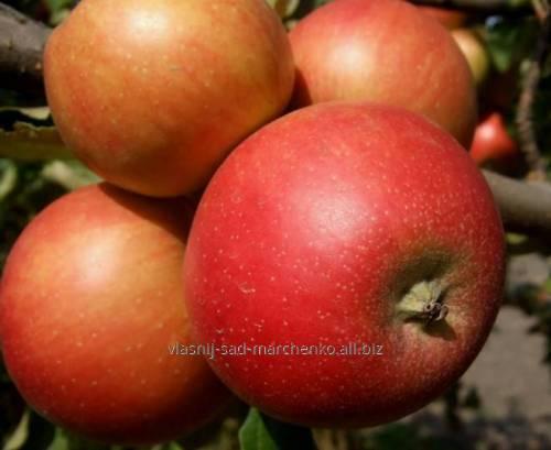 Яблоня сорт Топаз.