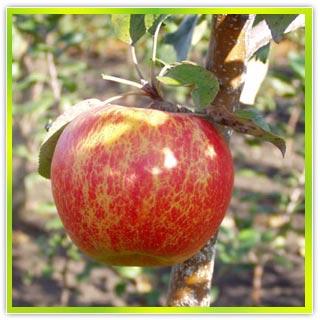 Яблоня Арива.