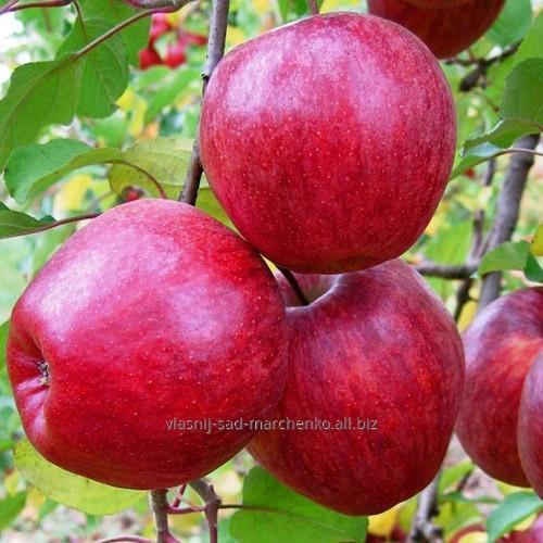 Яблоня сорт Камео