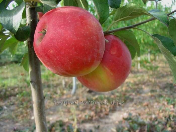 Яблоня сорт Хоней  Крисп.