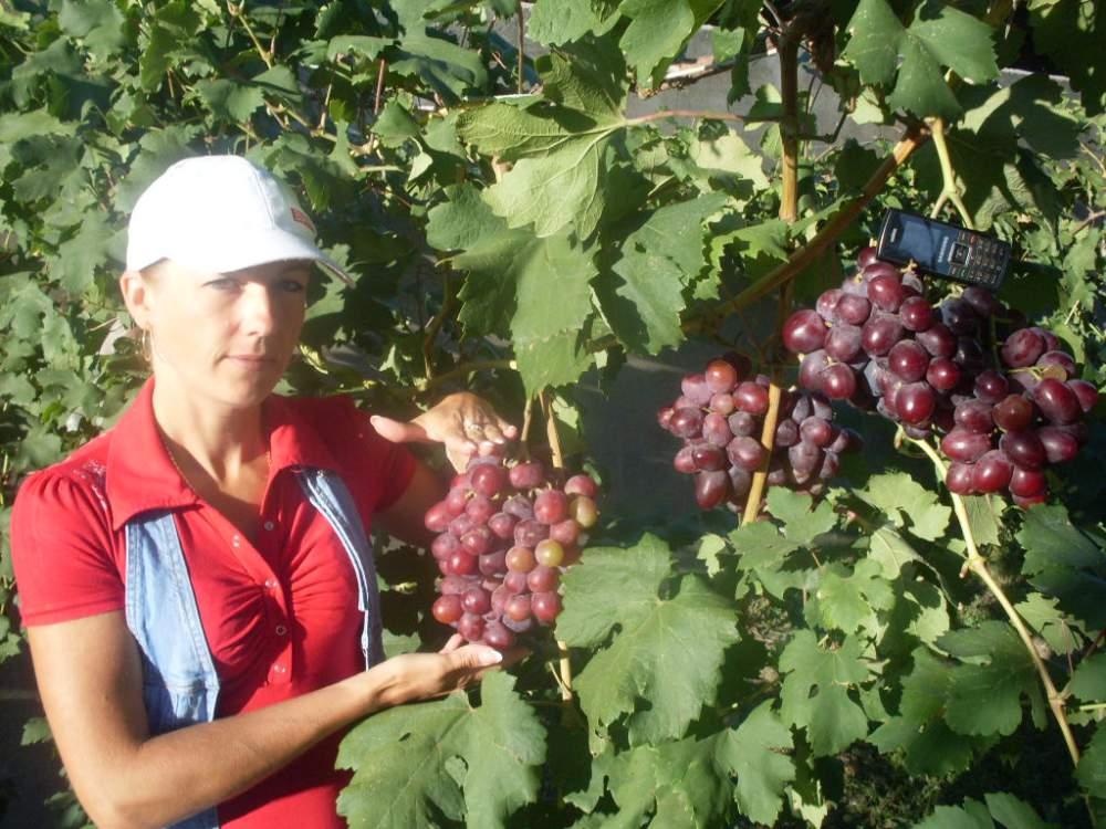 Купить Саженцы винограда универсальных сортов