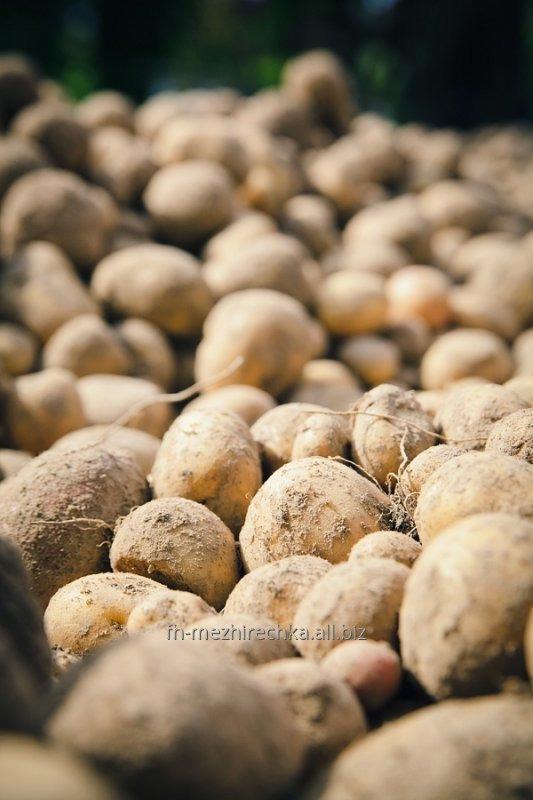Купить В продаже молодая картошка