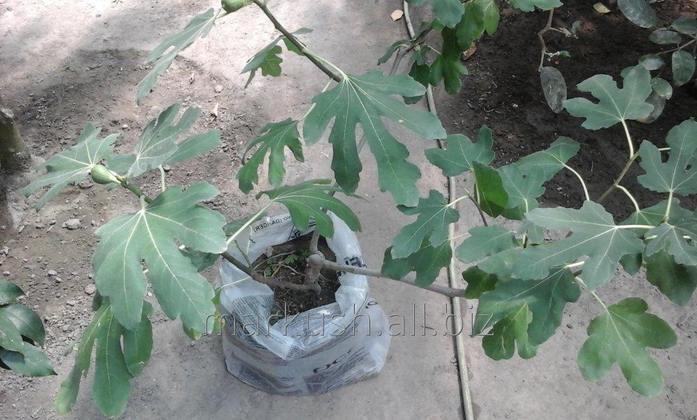 Плодоносящее инжировое дерево. Растение, высотой 100-130 см