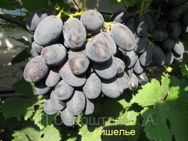 Черенки винограда купить почтой