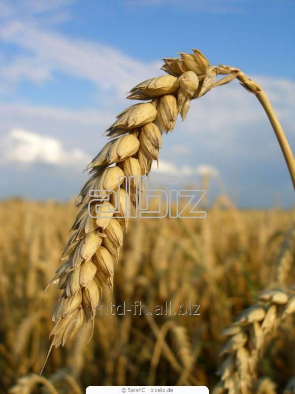 Seeds of winter wheat Lira Odesskaya