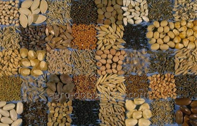 Семена зерновых и технических культур на посев(посевной материал озимых зерновых, масличных и технических культур)