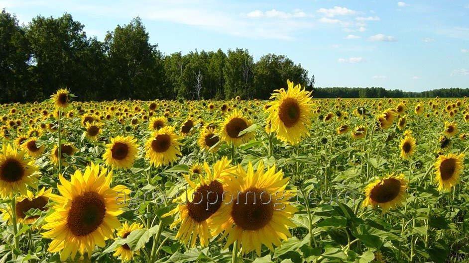 Семена подсолнечника Донбасс (посевной материал) экстра