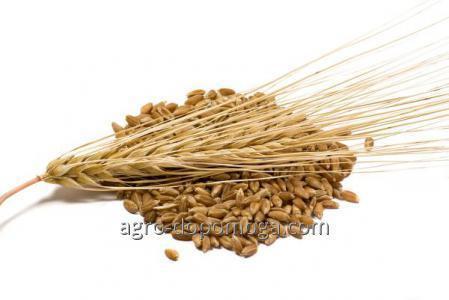 Семена ярового ячменя сорт Гарант Премиум