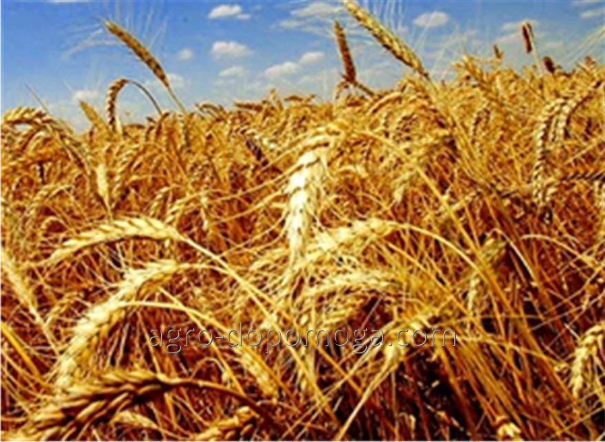 Семена озимой пшеницы Златоглава элита