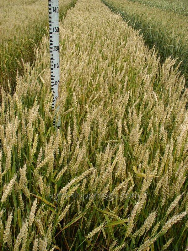Семена озимой пшеницы Досконала элита