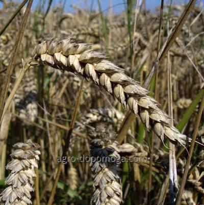 Grade of winter wheat It is stately