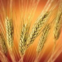 Семена озимой пшеницы Альянс