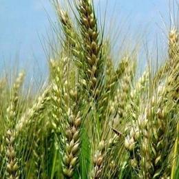 Семена озимой пшеницы Запашна
