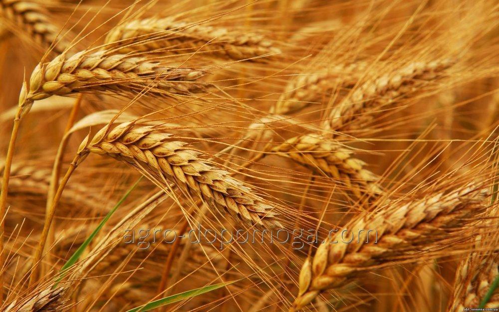 Семеня озимой пшеницы Богдана
