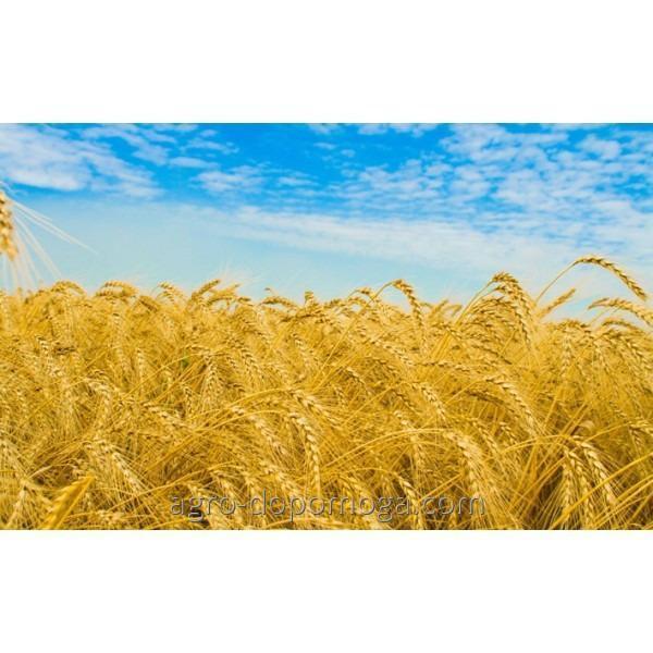 Семена озимой пшеницы Миссия Одесская (1 р, элита)