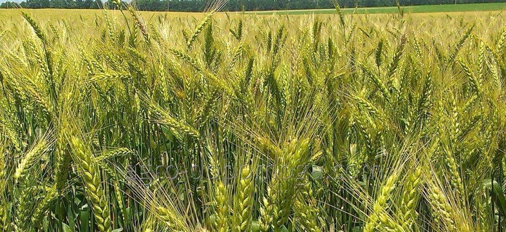 Семена озимой пшеницы Благодарка Одесская 1 р
