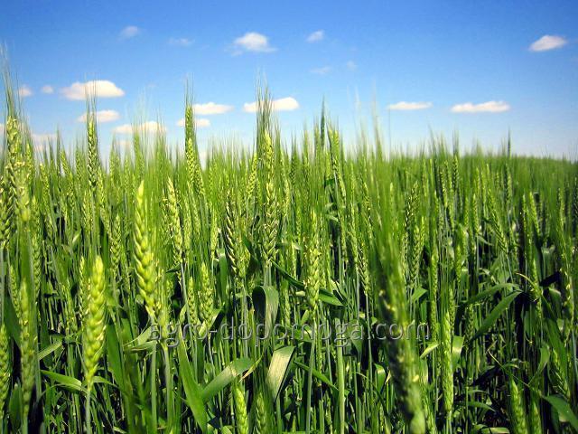 Семена озимой пшеницы Ласточка Одесская элита