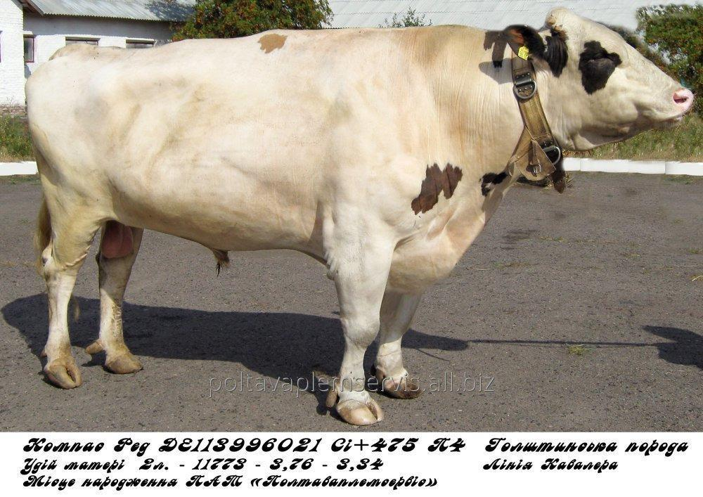 Сперма быка Компас Ред DE 113996021 (голштин красно-пестрый)