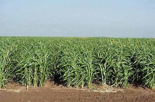 Суданка. Трава суданская.