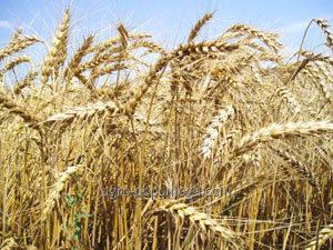 Пшеница озимая Дриада 1 элита