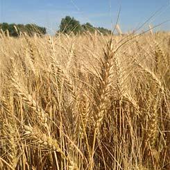 Пшеница озимая мягкая Кохана элита