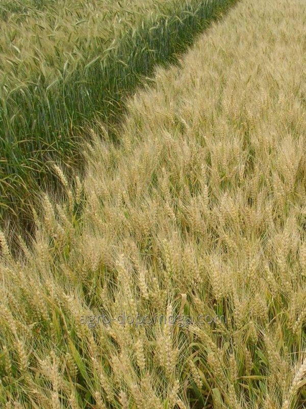 Пшеница озимая мягкая Кирена элита